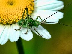 Grashopper