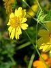 False Sunflower -
