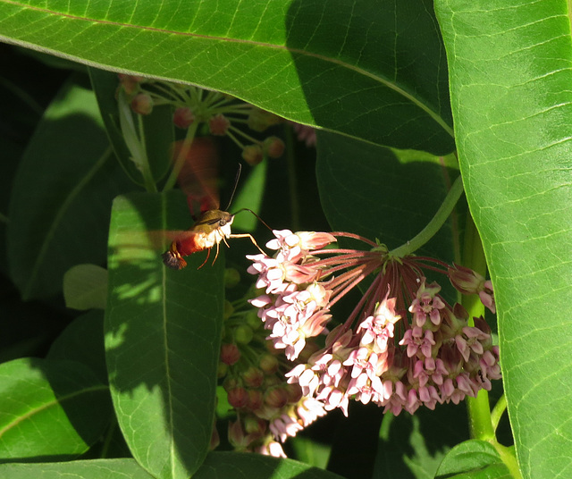 Hummingbird Moth on Milkweed