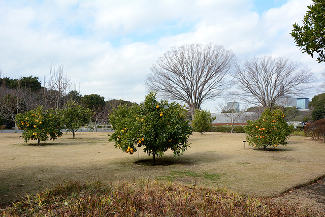 Tokyo, Citrus Trees in the Eastern Garden of the Imperial Palace