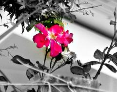 Rose Focus.