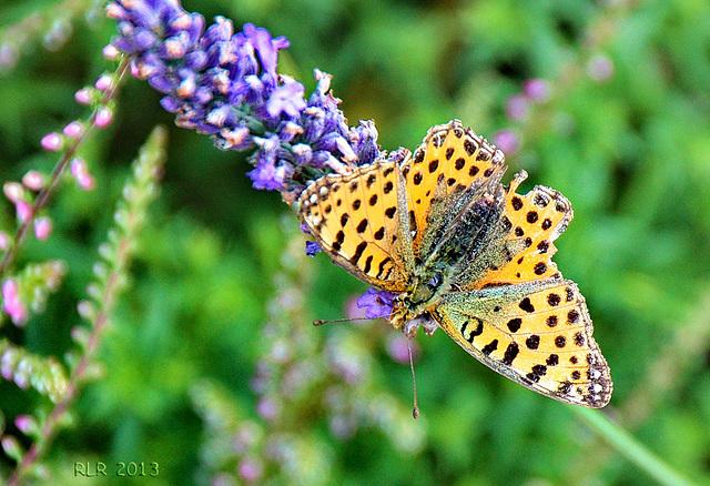 Kaisermantel auf Lavendel