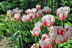 Canada 150 tulips
