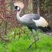 East African Crowned Crane4.