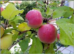 Apfelbaum trägt Früchte. ©UdoSm
