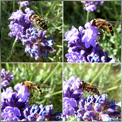 Hoverfly on lavender... ©UdoSm