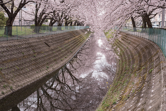 Cherry blossoms along the stream