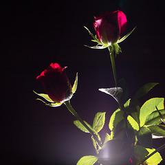 Rose 45/50 : anti love song