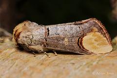 Buff Tip Moth (Phalera bucephala).