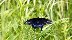 Black swallowtail butterfly female.