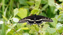 Black swallowtail butterfly male.