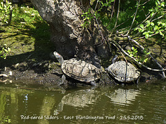 Red-eared sliders - East Blatchington Pond - 25.5.2018