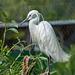 Egret (6)