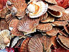 coquilles SAINT JACQUES de la Baie de St BRIEUC