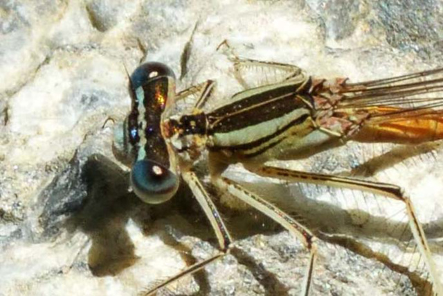 Orange Featherleg female eyes (Platycnemis acutipennis)