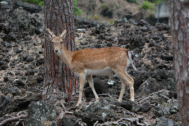 Azores, The Island of Pico, The Doe