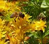 pollinating a Sedum