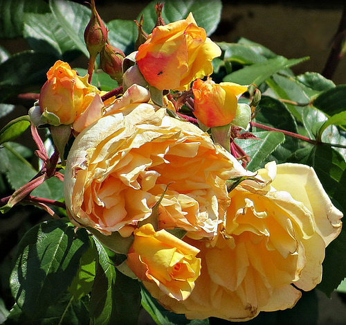 Roses****