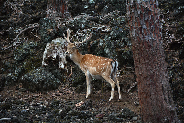 Azores, The Island of Pico, The Deer