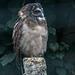 20140926 5497VRAw [D~SFA] Malaienkauz, (Strix leptogrammica), Vogelpark, Walsrode