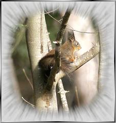 Eichhörnchen (Sciurus vulgaris)  ©UdoSm