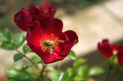 Hoverfly on a Sussex County Rose
