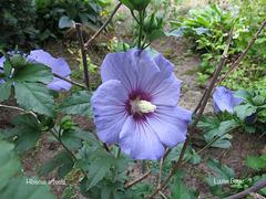 Hibiscus arbustif