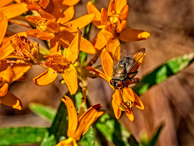 8092047dL  A fly on milkweed.