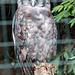 20140926 5500VRAw [D~SFA] Blassuhu, (Bubo lacteus), Vogelpark, Walsrode