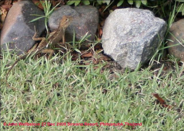 Ground Lizard Agama, Fan-throated lizard (Sitana ponticeriana from the Agaminae). Opposites - Small