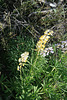 Yellow & lavender lupine