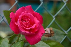 une rose de l'été