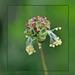Schönheit am Wegesrand - kleiner Wiesenknopf