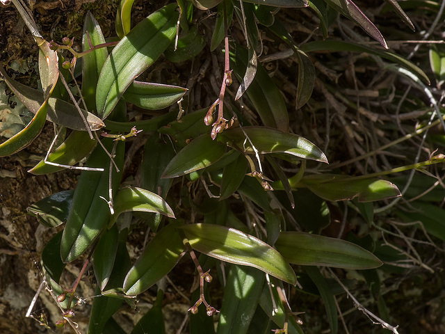 Epidemdrum magnoliae (Green-fly orchid) buds)