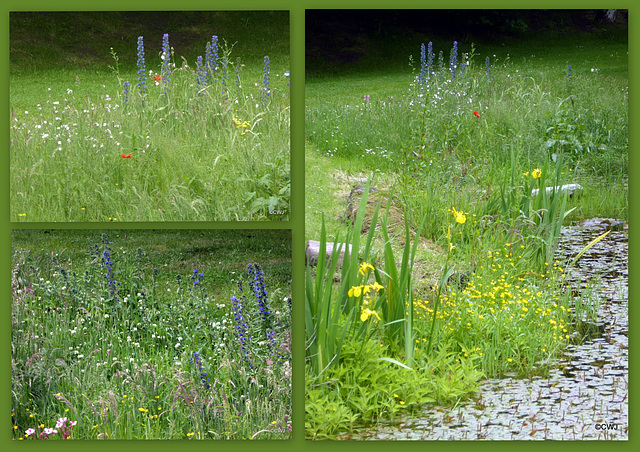 Scattering wildflower seeds round the pond edge last year is beginning to take effect...
