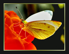 Kohlweißling. (Pieris brassicae) ©UdoSm