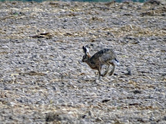 Hare today gone tomorrow.
