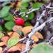 A Berberis berry
