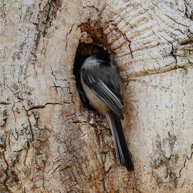 Black-capped Chickadee at a cavity