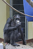 Schimpansin (Zoo Heidelberg)