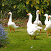 A gaggle of geese.