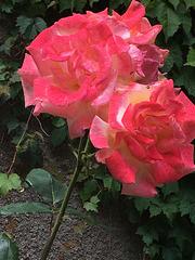 Roses du matin .
