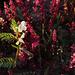 Vicia lutea, Rumex bucephalophorus