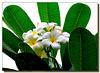 Ilhéus : Il fiore del frangipane