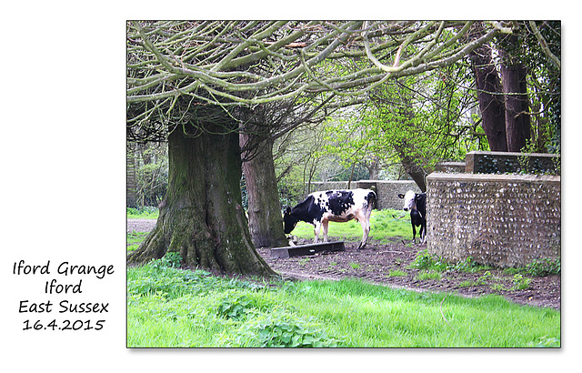 Cattle at Iford Grange - Sussex - 16.4.2015