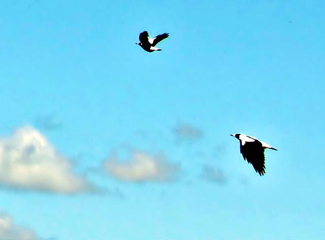 Magpies.