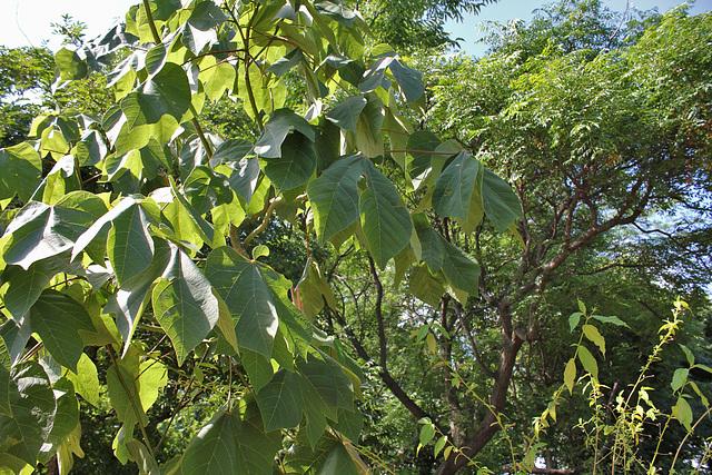 Sterculia platanifolia (4)