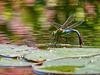 Königslibelle