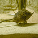 Elephant shrew 1
