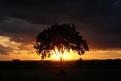 42/50 l'orme de M. Charbonneau, Mr. Charbonneau's elm tree